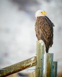 Weißkopfseeadler, der auf einem Zaun, großartiges Teton steht Stockfotografie