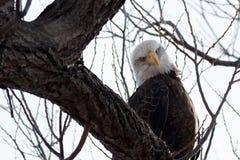 Weißkopfseeadler, der auf einer Niederlassung sitzt Lizenzfreie Stockbilder