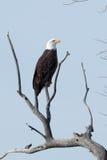 Weißkopfseeadler, der auf einer Niederlassung sitzt Lizenzfreie Stockfotografie