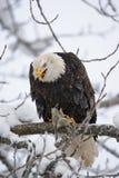 Weißkopfseeadler, der auf einer Niederlassung sitzt und Opfer isst USA alaska Chilkat Fluss Stockfotografie