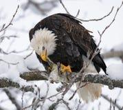 Weißkopfseeadler, der auf einer Niederlassung sitzt und Opfer isst USA alaska Chilkat Fluss Lizenzfreie Stockfotos