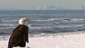 Weißkopfseeadler, der heraus szenischen See- und Abstandsbergen betrachtet stock video