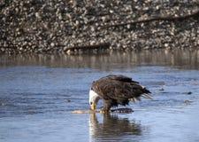 Weißkopfseeadler, der Lachse isst Lizenzfreies Stockfoto