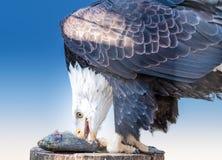 Weißkopfseeadler, der Lachse isst Stockfotos