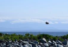 Weißkopfseeadler, der niedrig über Wasser fliegt Lizenzfreies Stockbild