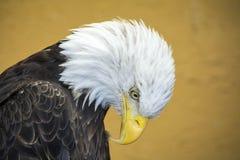 Weißkopfseeadler, der unten schaut Stockfotografie
