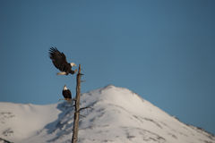 Weißkopfseeadler, die auf Baum Alaska landen Stockfotos