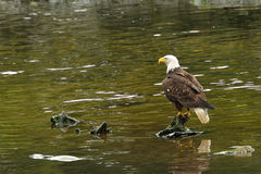 Weißkopfseeadler in einem Fluss Lizenzfreie Stockfotos