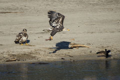 Weißkopfseeadler-Fischerei Lizenzfreies Stockfoto