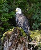 Weißkopfseeadler gehockt auf Baumstumpf im Wald Lizenzfreie Stockfotografie