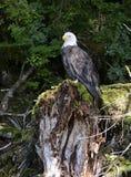 Weißkopfseeadler gehockt auf Baumstumpf im Wald Lizenzfreies Stockfoto