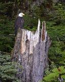 Weißkopfseeadler gehockt auf Baumstumpf im Wald Stockbild