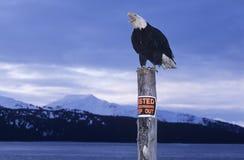 Weißkopfseeadler gehockt auf Beitrag in den Bergen Stockbilder