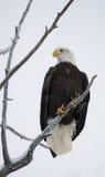 Weißkopfseeadler gehockt auf einem Baumast USA alaska Chilkat Fluss Stockbilder