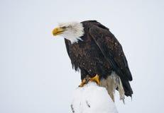 Weißkopfseeadler gehockt auf einem Baumast USA alaska Chilkat Fluss Stockfoto