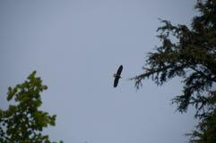 Weißkopfseeadler - Haliaeetus leucocephalus - gegen blauen Himmel mit Immergrün Lizenzfreies Stockbild