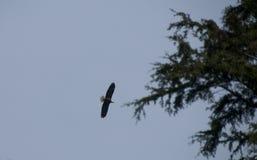 Weißkopfseeadler - Haliaeetus leucocephalus - gegen blauen Himmel mit Immergrün Stockbild