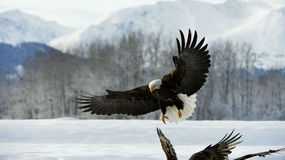 Weißkopfseeadler (Haliaeetus leucocephalus) landete auf Schnee Lizenzfreie Stockfotos
