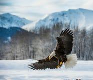 Weißkopfseeadler (Haliaeetus leucocephalus) landete auf Schnee Lizenzfreies Stockbild