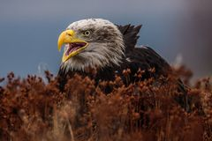 Weißkopfseeadler hochfliegend gegen klaren blauen alaskischen Himmel stockbilder