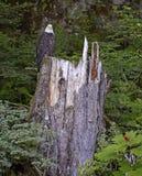 Weißkopfseeadler hockte auf Baumstumpf im Wald Lizenzfreie Stockfotos