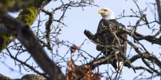 Weißkopfseeadler im Baum, Columbia River Schlucht, Washington, USA Stockfotos