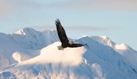 Weißkopfseeadler im Flug auf einem Hintergrund von schneebedeckten Bergen Stockfotos