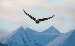 Weißkopfseeadler im Flug auf einem Hintergrund von schneebedeckten Bergen Stockfotografie