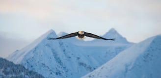Weißkopfseeadler im Flug auf einem Hintergrund von schneebedeckten Bergen Lizenzfreie Stockfotos