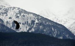 Weißkopfseeadler im Flug gegen Alaska-Berge Stockbilder