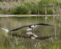 Weißkopfseeadler, kanadische Raubvogel-Erhaltung Stockfoto