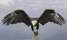 Weißkopfseeadler, kanadische Raubvogel-Erhaltung Stockfotos