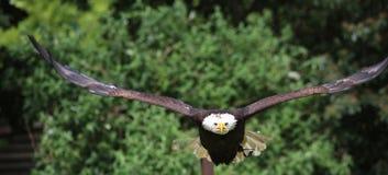 Weißkopfseeadler, Maskottchen Crystal Palaces FC Lizenzfreie Stockfotografie