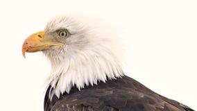 Weißkopfseeadler mit dem geschrammten Schnabel, der herum schaut stock footage