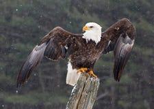 Weißkopfseeadler mit den Flügeln ausgedehnt Lizenzfreies Stockfoto