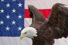 Weißkopfseeadler mit den Flügeln gewölbt und der amerikanischen Flagge Lizenzfreies Stockfoto