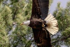 Weißkopfseeadler mit einem Stock Lizenzfreies Stockfoto