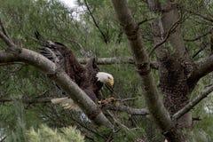 Weißkopfseeadler mit einem Stock Stockbild