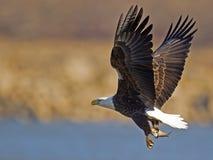 Weißkopfseeadler mit Fischen Lizenzfreie Stockfotos
