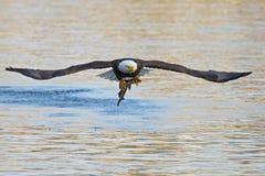Weißkopfseeadler mit Fischen Lizenzfreie Stockfotografie