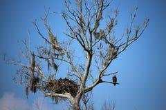 Weißkopfseeadler mit Jungen im Nest Stockfotografie