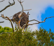 Weißkopfseeadler-Nest an der Zitronen-Bucht-Wasserreserve in Cedar Point Environmental Park, Sarasota County, Florida Stockfoto
