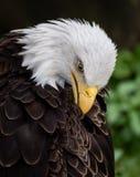 Weißkopfseeadler in Pennsylvania Lizenzfreies Stockfoto