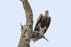 Weißkopfseeadler, Raubvogel, Federn, wild lebende Tiere, Fleischfresser, pearched, Baum Stockbilder