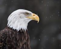 Weißkopfseeadler in Schnee II Lizenzfreie Stockfotos