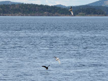 Weißkopfseeadler umgeben durch die Seemöwen, die für Fische tauchen Lizenzfreies Stockbild