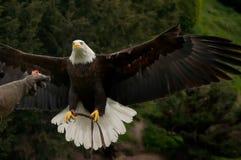 Weißkopfseeadler- und Falknerhandschuh Lizenzfreie Stockfotografie