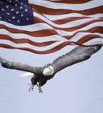 Weißkopfseeadler und US-Flagge Stockfotografie