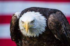 Weißkopfseeadler vor der amerikanischen Flagge, die zur Kamera schaut Lizenzfreie Stockbilder