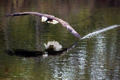 Weißkopfseeadler zyklische Blockprüfung Lizenzfreie Stockfotografie